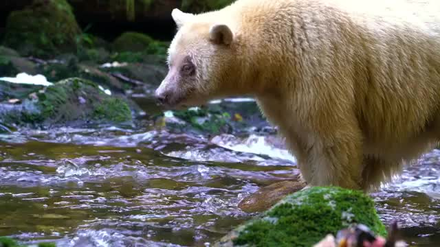 Watch and share The Extremely Rare Spirit Bear Hunting Salmon GIFs by redditor on Gfycat