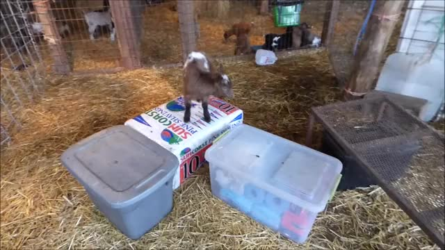 Watch Parkour King in Training GIF by KNS Farm (@knsfarm) on Gfycat. Discover more aww, cute, eyebleach, funny, goat, goatparkour, goats, kids, knsfarm, parkour, tippytaps GIFs on Gfycat