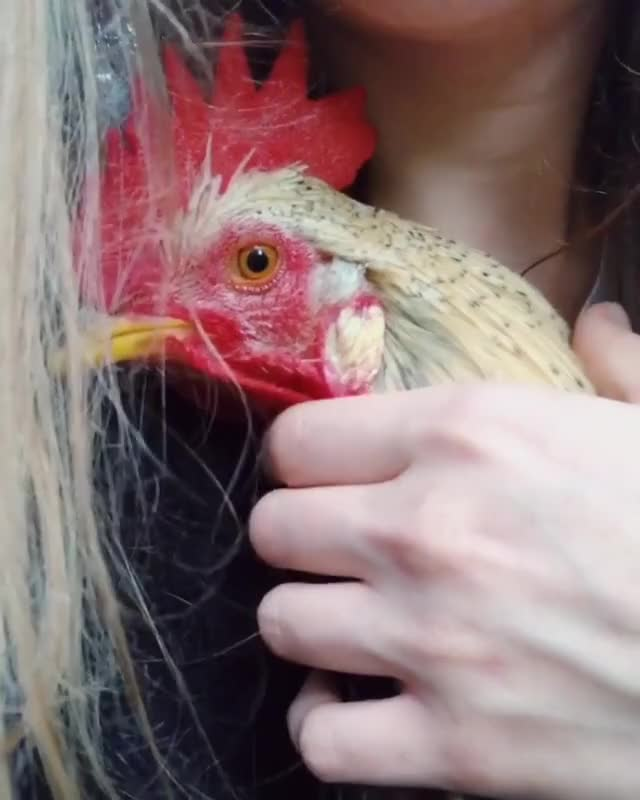 Watch and share RuPaul The Rooster Enjoying Some Cuddles GIFs by lnfinity on Gfycat