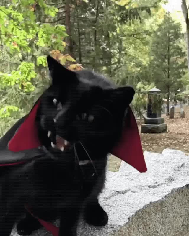 Watch and share Count Dracucat GIFs on Gfycat