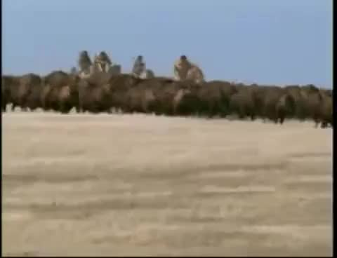 Watch and share Buffalo Stampede GIFs on Gfycat