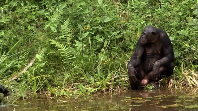Watch Things You Probably Didn't Know About Cute Bonobos | National Geographic GIF on Gfycat. Discover more animals, discover, explore, nat geo, natgeo, national geographic, nature, science, survival, wildlife GIFs on Gfycat