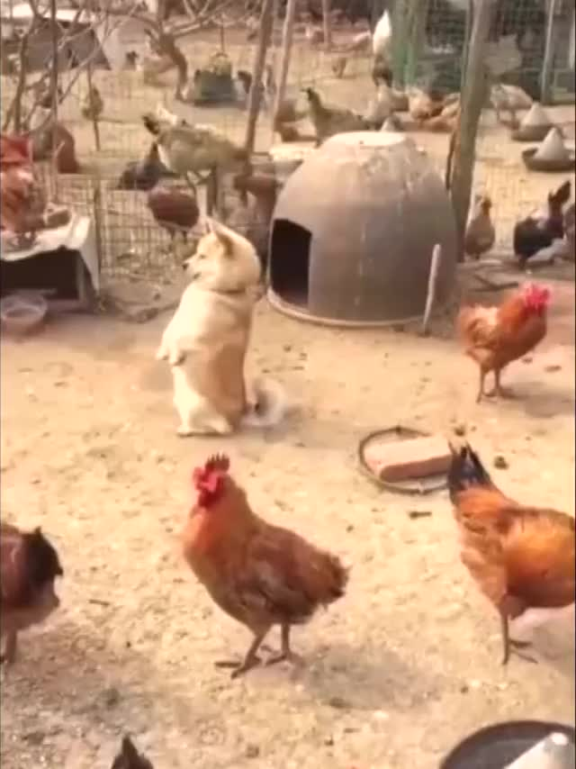 Watch and share This Pooch Is Guardian Of The Chicken Farm 😂🐔 Credit: Newsflare GIFs by Dragon on Gfycat
