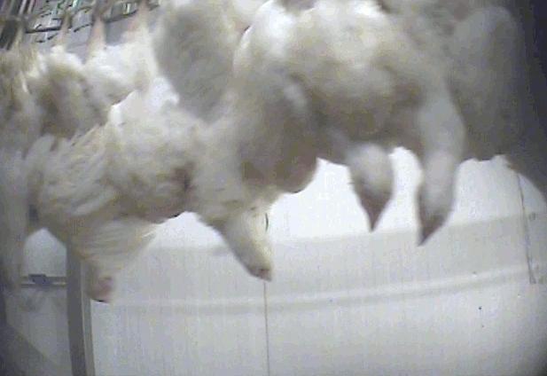Kycklingar hängandes med huvudet nedåt far förbi i snabb takt