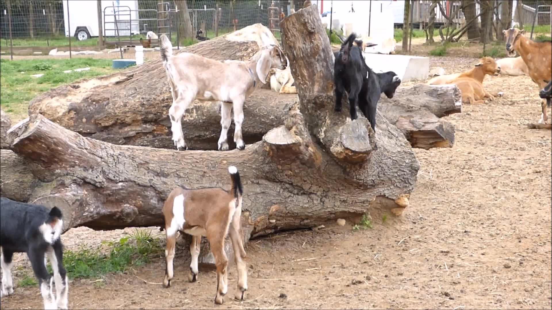 animal, animals, aww, cute, eyebleach, goat, goatparkour, knsfarm, Balancing Fail GIFs