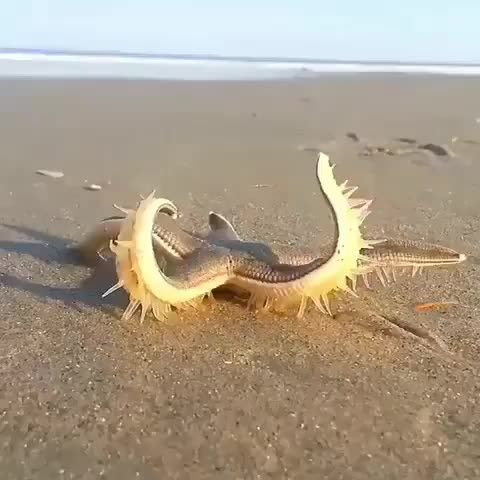 nature, The way this starfish walks GIFs