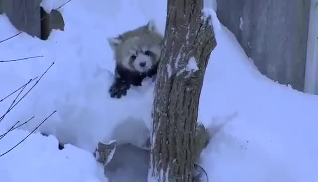 Watch this red panda GIF on Gfycat. Discover more Fail, Panda, Red, animals, fail, panda, red GIFs on Gfycat