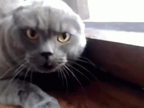 Watch and share Злой Кот Злость Сердитый Сердиться GIFs on Gfycat