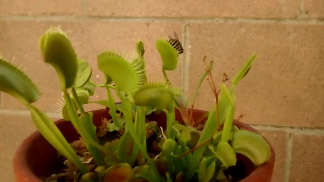 Watch Savage Fly GIF by @andrewben on Gfycat. Discover more carnivorous plant, savagegarden, venus fly trap GIFs on Gfycat