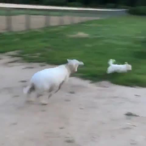 boochases, caitlin cimini | rancho relaxo, friendsnotfood, govegan, rancho relaxo sanctuary, ranchorelaxo, rescue, sanctuary, Mabel and her friend EJ play tag at Rancho Relaxo Animal Sanctuary GIFs