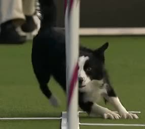 Watch and share Dog Obstacles Speed GIFs by Russ Smith on Gfycat