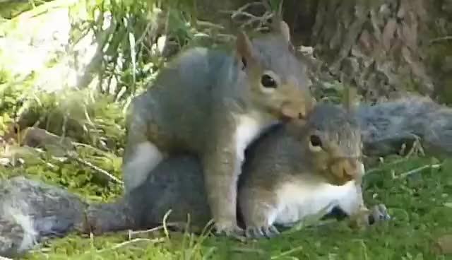 Watch Squirrels Mating GIF on Gfycat. Discover more related GIFs on Gfycat