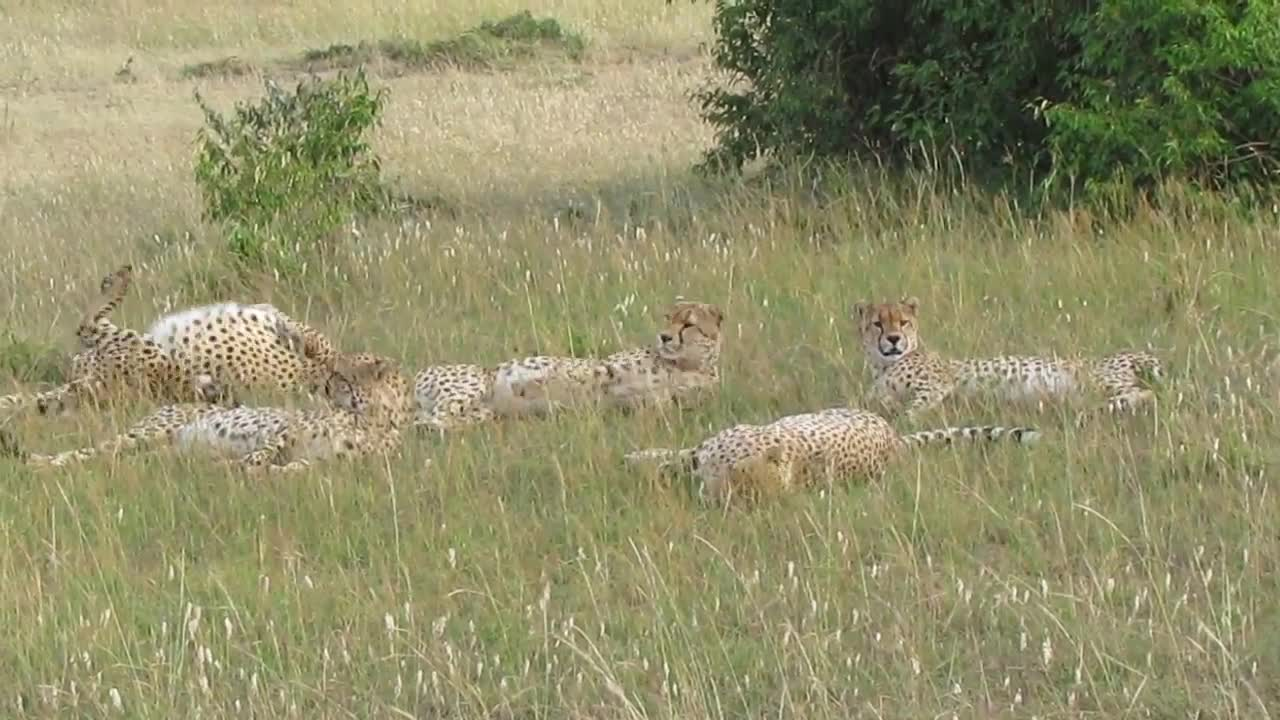 Pets & Animals, Five Cheetah Brothers rolling together Masai Mara Reserve GIFs