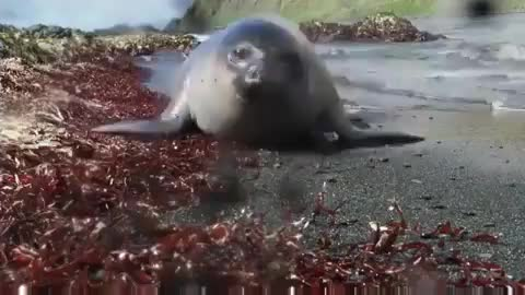 nature, Curious baby elephant seal booping a wildlife camera GIFs