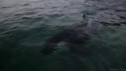 Watch and share Killer Whale Gif GIFs and Orca Whale GIFs on Gfycat