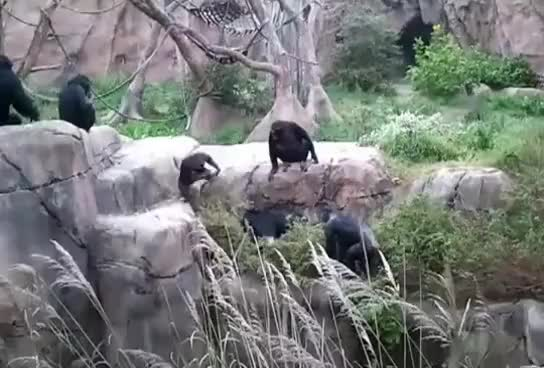 Watch енот случайно заполз к шимпанзе GIF on Gfycat. Discover more related GIFs on Gfycat
