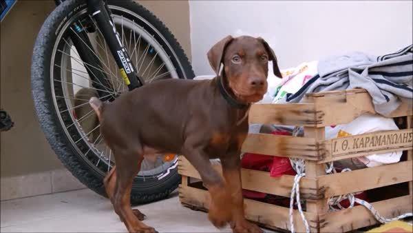 AnimalsBeingDerps, animalsbeingderps, A Doberman puppy going head over heels! (reddit) GIFs