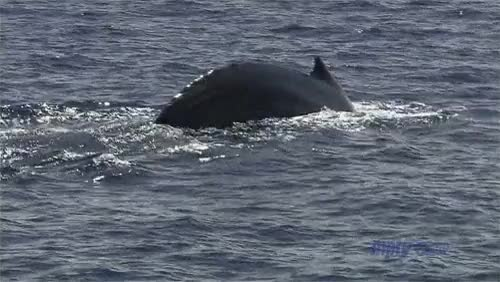Watch and share Humpback Whale GIFs on Gfycat
