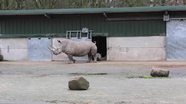 Watch and share Rhino Calf - Her First Time Outside. GIFs by PM_ME_STEAM_K3YS on Gfycat