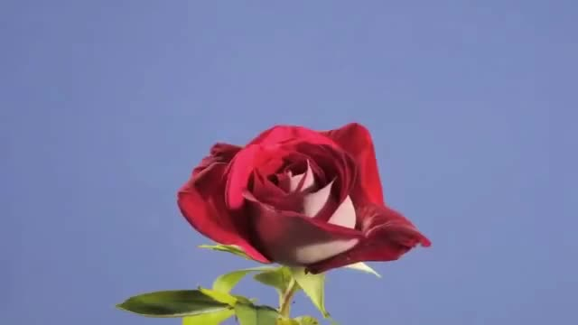 Watch this sex GIF by The GIF Forge (@leahstark) on Gfycat. Discover more GIF Brewery, red-rose-flower-opening-time-lapse GIFs on Gfycat