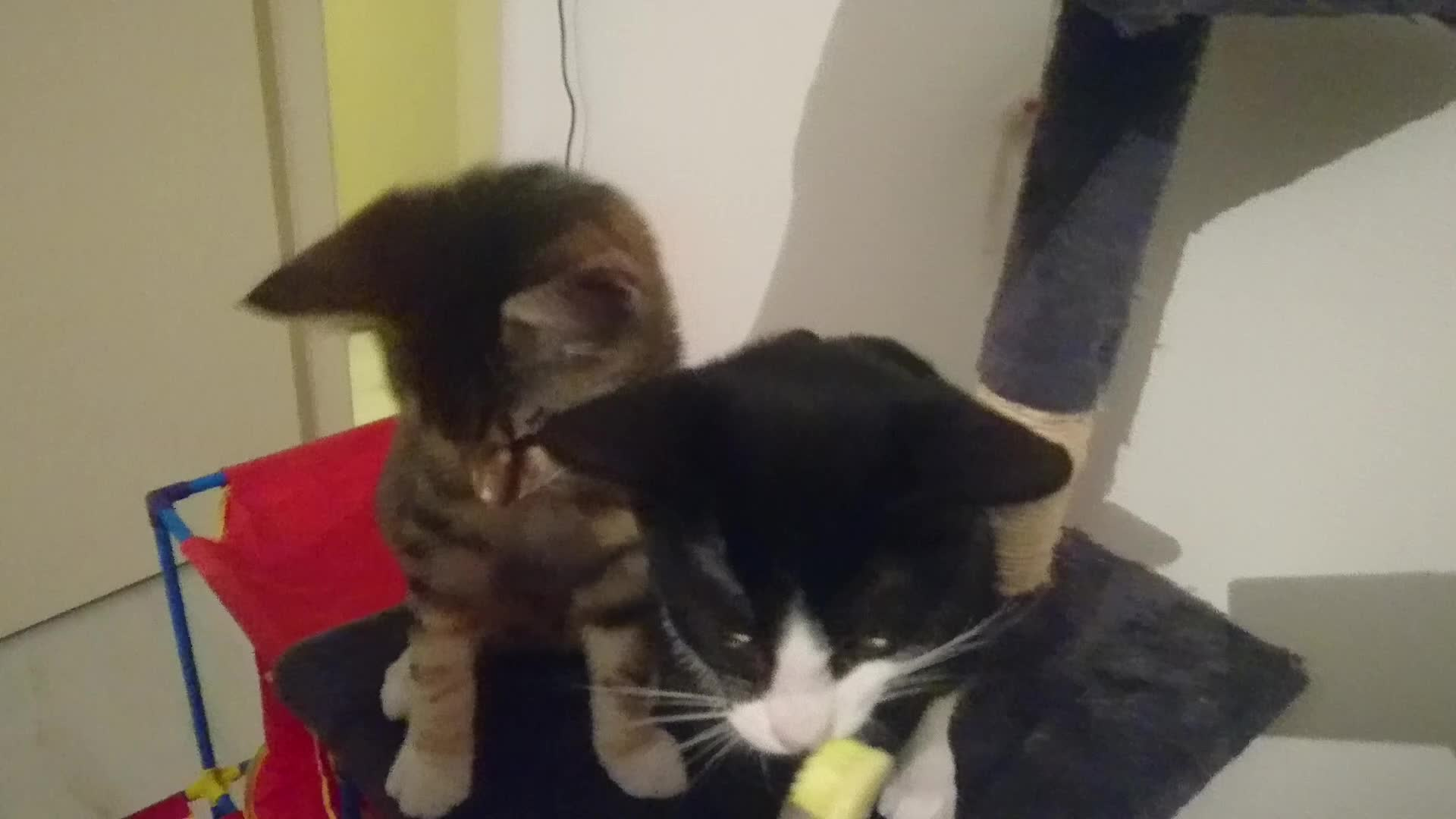 brushy brushy, cat, cats, cute and funny, kitten, kittens, tuxedo cat, Kitten teeth brushy brushy GIFs