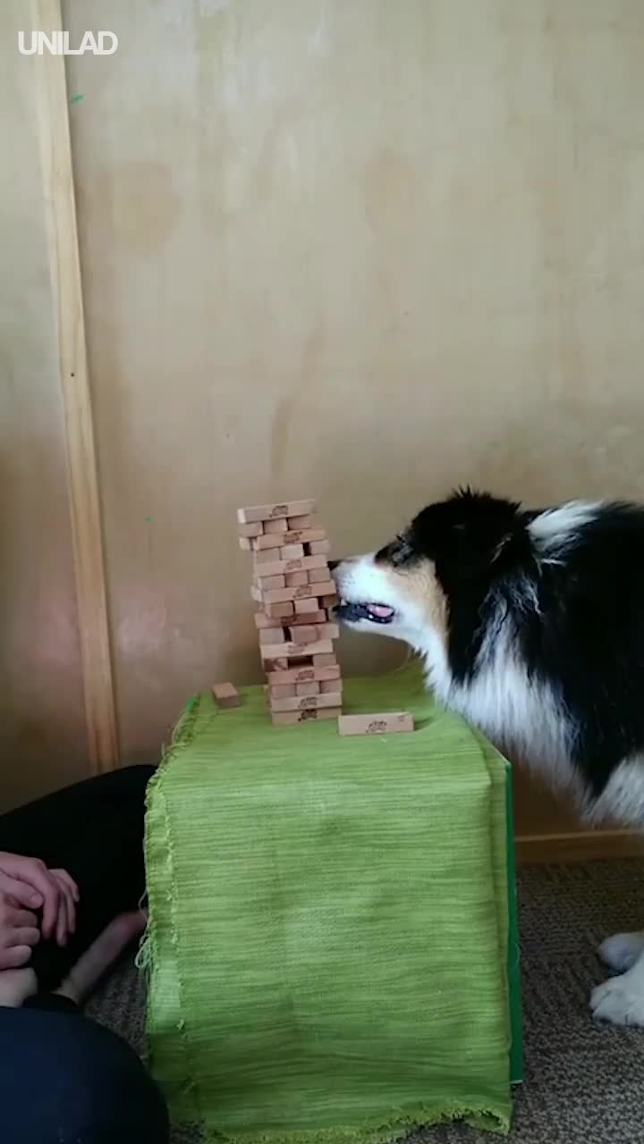 Amazing Doggo Plays Jenga Like A Pro GIFs