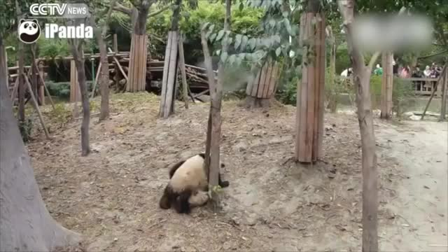 Watch A dramatic life: Panda falls from tree unhurt, robbed by other pandas afterwards GIF by @likkaon on Gfycat. Discover more cctv, cctvnews, news GIFs on Gfycat