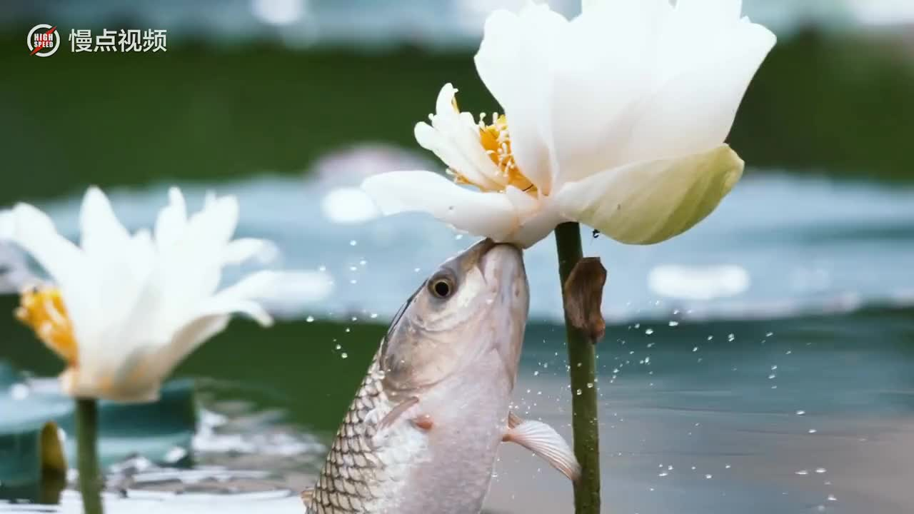 Lotus Flower Gifs Search Search Share On Homdor