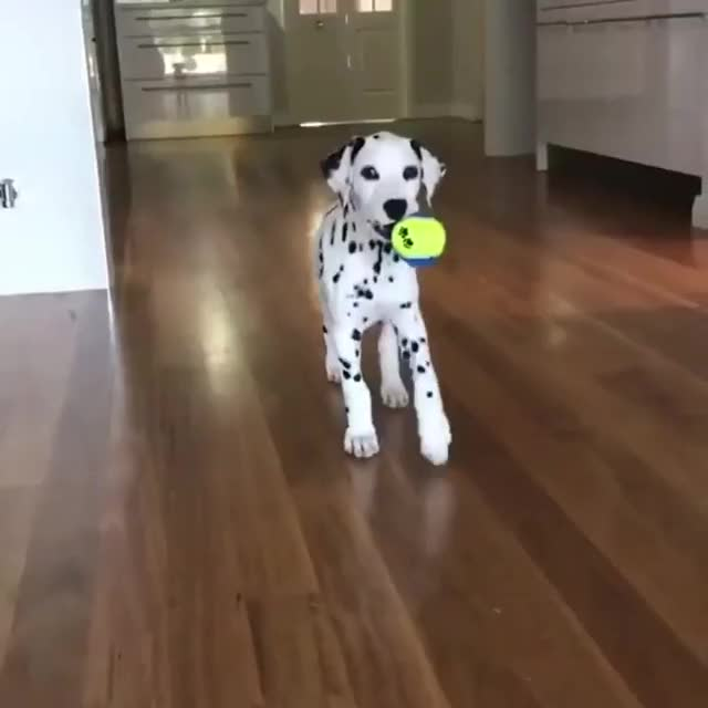 Watch and share Dalmata GIFs and Maluco GIFs by songoflutie on Gfycat
