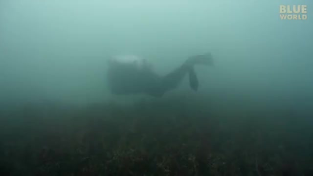 Watch and share Leafy Seadragons Of South Australia - JONATHAN BIRD'S BLUE WORLD (online-video-cutter.com) GIFs on Gfycat