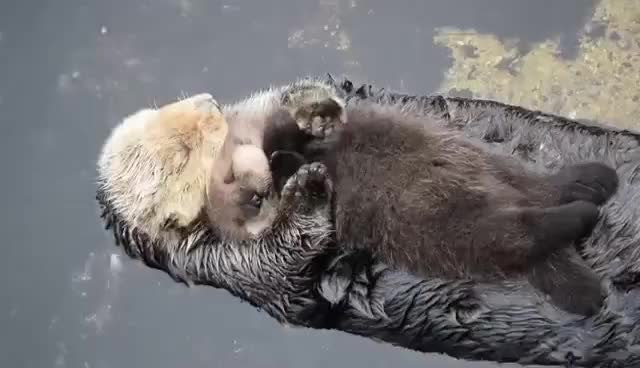 Watch and share 1 Day Old Sea Otter Trying To Sleep On Mom GIFs on Gfycat