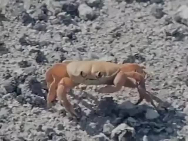 Watch this crab GIF by @genarchive on Gfycat. Discover more crab GIFs on Gfycat