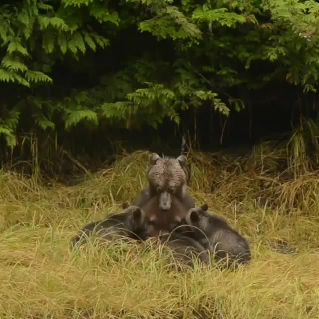 Watch and share Mama Bear And Cubs GIFs by troublepaw on Gfycat