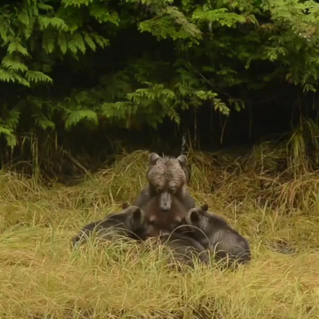 mama bear and cubs GIFs