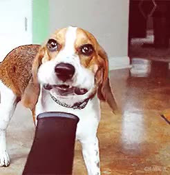 Watch and share Post Vacuum Beagle Leaf Blower GIFs on Gfycat