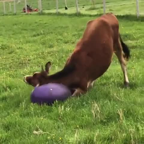 Watch and share Cow GIFs by lnfinity on Gfycat