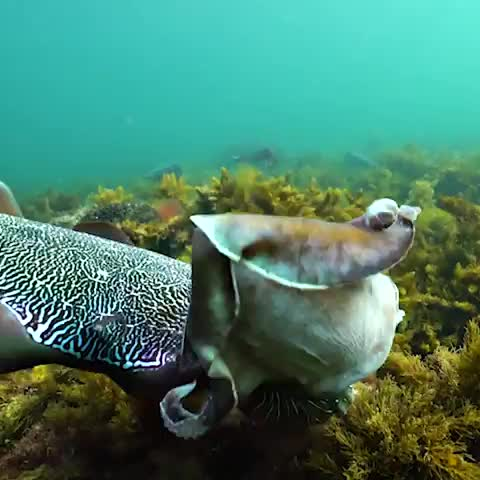biology, cephlapods, cuttlefish, didyouknow, earth, earthscience, facts, learning, life, mrstealyourgirl., nature, ocean, planet, saturday, science, sea, sealife, themoreyouknow, videooftheday, wow, Two male cuttlefish challenge one another for dominance and the opportunity to mate with a female. The cephalopods squirt large amounts of b GIFs