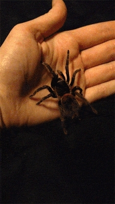 ask, haydrion, spider, tarantula, Many species of tarantula can be gently handled without any  GIFs