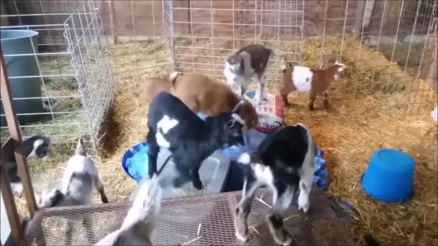 Watch Small Parkour 3 GIF by KNS Farm (@knsfarm) on Gfycat. Discover more aww, cute, eyebleach, goatparkour, goats, knsfarm, mademesmile GIFs on Gfycat