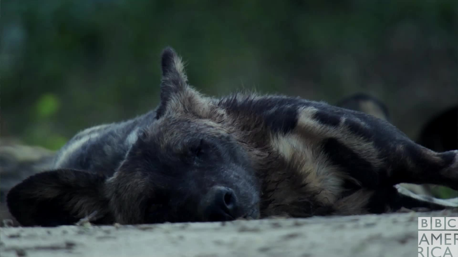 animal, animals, bbc america, bbc america dynasties, bbc america: dynasties, dynasties, lazy, monday, mondays, painted wolf, painted wolves, sleepy, tired, wolf, wolves, zzz, Dynasties Wolf Awakens GIFs
