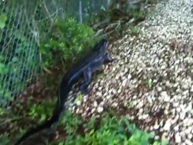 Watch Ninja Gator! Alligator climbs fence. GIF by @gator426428 on Gfycat. Discover more accedent, blood, crash, crashes, croc, crocodile, death, fail, fails, gator, nature GIFs on Gfycat