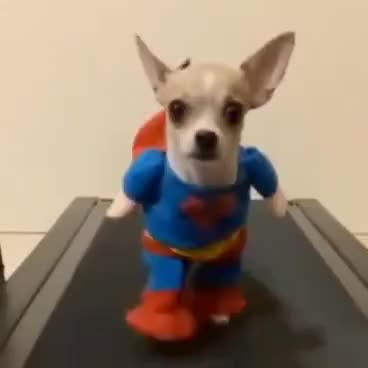 Watch and share Chihuahua GIFs and Dogs GIFs on Gfycat