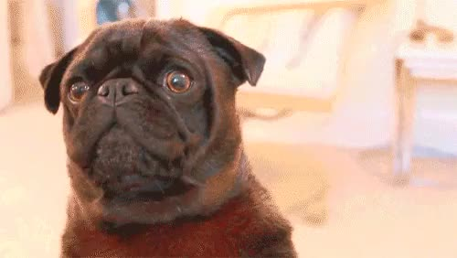 Watch this GIF on Gfycat. Discover more :'), edgar allan pug, mine, pewdiepie GIFs on Gfycat