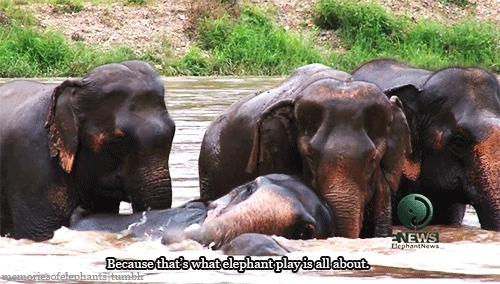 And Playful, And Precious, Baby Elephant, Bathtime, Chiang Mai, Elephant, Elephant Hug, Elephant Nature Park, Elephants, Gifs: Mine, Herd, Look At Them, Mine, My Edit, Sanctuary, So Sweet, Swimming, Thailand, This Is What Happy Elephants Look Like, Gentle Giants GIFs