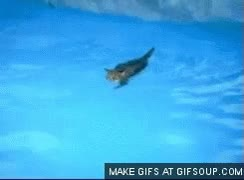 Watch and share Swimming Cat GIFs on Gfycat