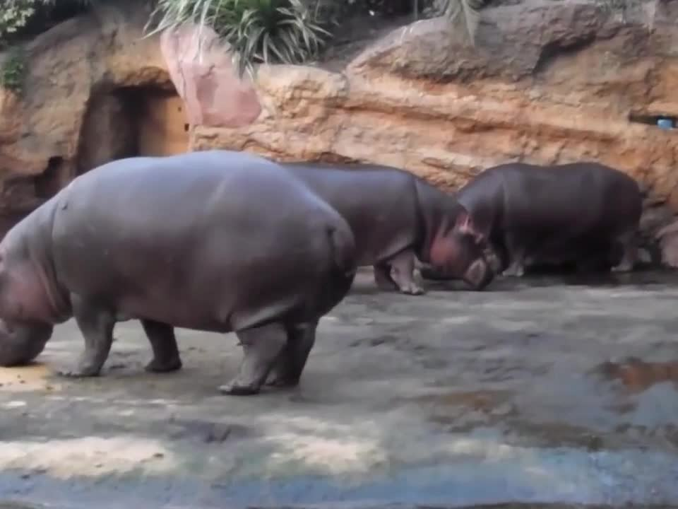 hippo, hippopotamus, poo, poop, pooping hippo GIFs