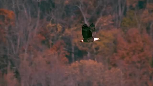 Watch and share Episode 7 Bald Eagles Epic Slow Mo 1 GIFs on Gfycat