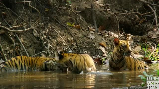 Watch this animal GIF by BBC America (@bbcamerica) on Gfycat. Discover more animal, animals, bbc america, bbc america dynasties, bbc america: dynasties, dynasties, fun, funny, happy, playing, tiger, tigers GIFs on Gfycat