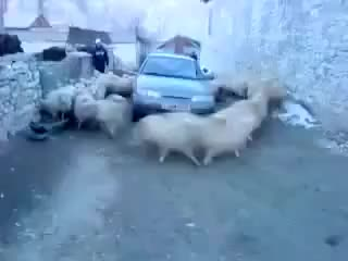 Watch and share Овцы Устроили Хоровод Вокруг Машины GIFs on Gfycat