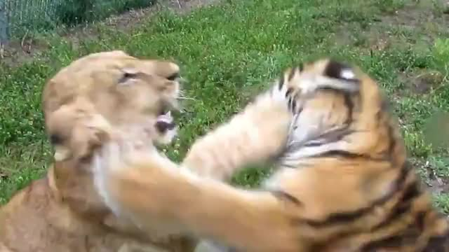 사자vs호랑이